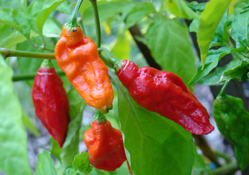 Above: The extremely hot bhoot-jolokia, a chilli variant from Assam and Manipur (photo by Asit K. Ghosh, used under CC BY-SA 3.0 license).
